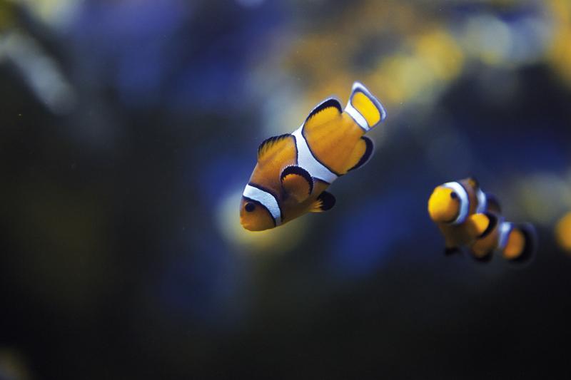 Aquarium_de_Saint_Malo_Poisson_Clown_a_Bandes_1@raphael_auvray